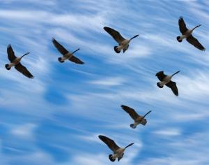 Bl_adm_1B_(bird_migration)